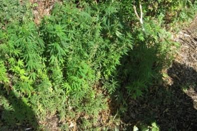 Арзамасец выращивал коноплю у себя на участке