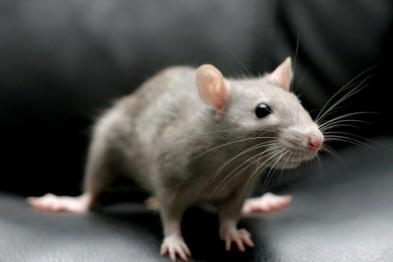 Борьба с крысами и грызунами