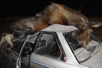 Столкновение с лосем зафиксировано 24 ноября в Нижегородской области