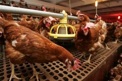 Новая птицефабрика открылась в Нижегородской области