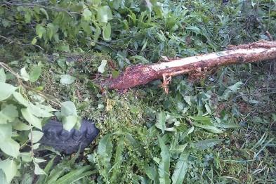 В Арзамасе неизвестные вандалы ночью во дворе повалили деревья