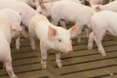 Уже третья по счету вспышка африканской чумы свиней зафиксирована в Нижегородской области