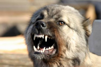 В Кстове собака хозяина, находившегося в состоянии алкогольного опьянения откусила девушке ухо