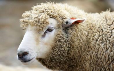Использование и преимущества одежды из овечьей шерсти (фото)